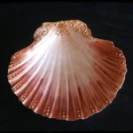 coquille st-jacque